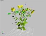 simple rapeseed
